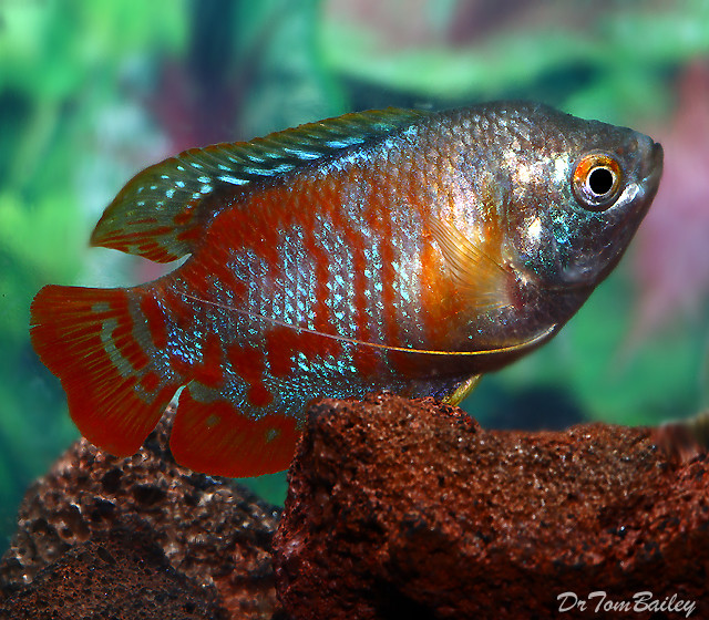 Premium Young Male Peacock Dwarf Gourami, 2