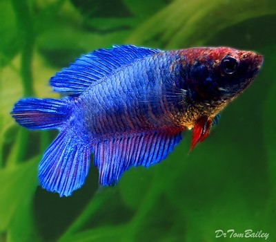 Premium FEMALE Natural Twin-Tail Blue Betta Fish, Size: 1