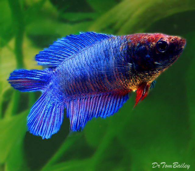 Premium FEMALE Natural Twin-Tail Blue Betta Fish, 1