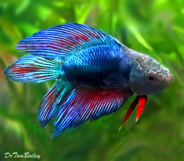 """Premium Natural Twin-Tail Female Red and Blue Betta, 1"""" to 1.5"""" long"""