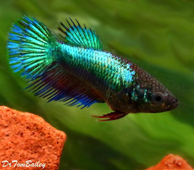Premium Turquoise Crowntail Female Betta Fish, 1