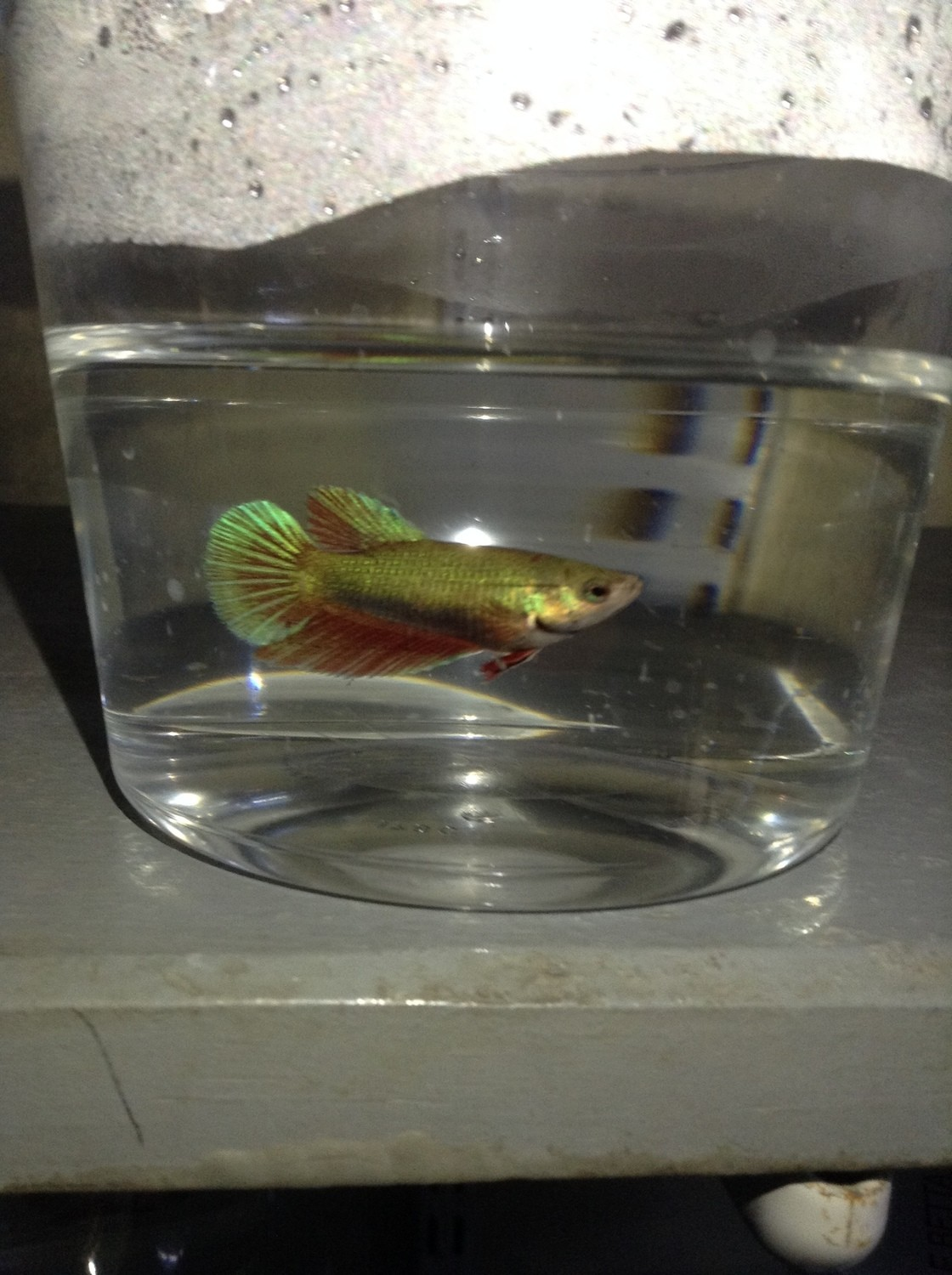 "Premium Green Halfmoon Female Betta Fish, 1.5"" to 2"" long"