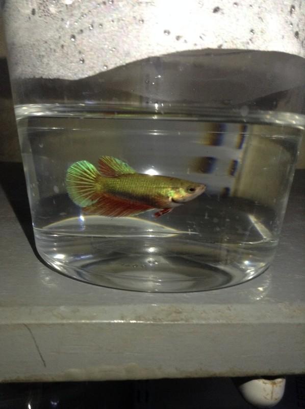 Premium Green Halfmoon Female Betta Fish, 1.5
