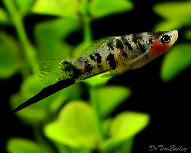 "Premium Rare Dalmatian Swordtail, 2"" to 2.5"" long"