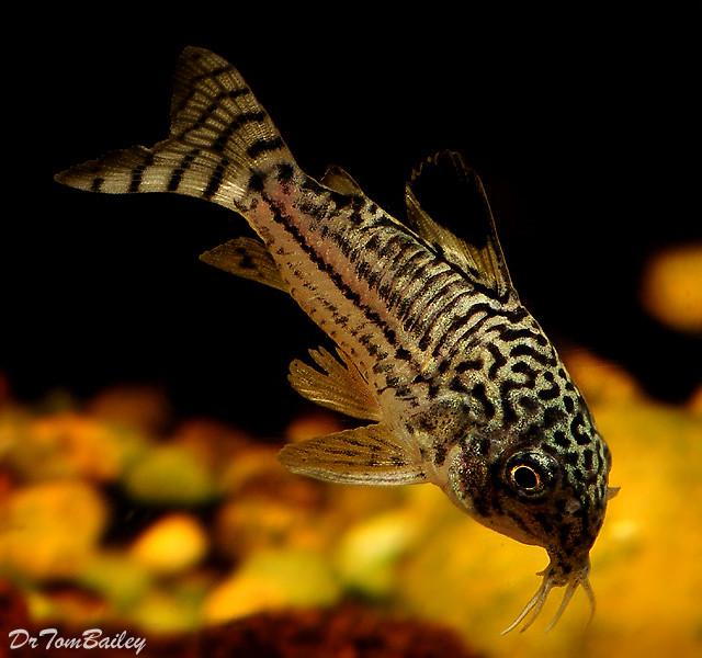 "Premium Trilineatus Corydoras Catfish, 1"" to 1.2"" long"