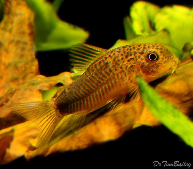 """Premium WILD, Similis Corydoras Catfish, Size: 1"""" to 1.5"""""""