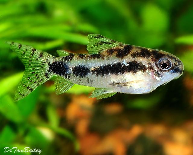 Premium Dwarf Corydoras Habrosus Catfish, 0.75