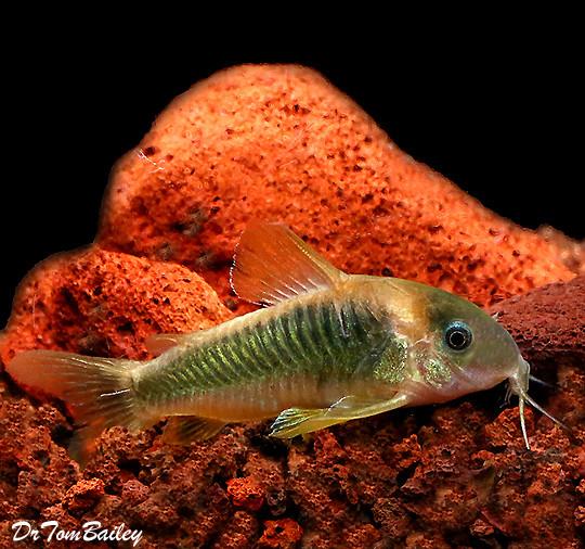 "Premium, New Gold and Green Corydoras Catfish, 1"" to 1.5"" long"