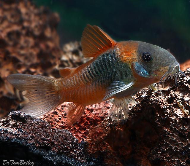 """Premium Venezuelan Orange Spot Corydoras Catfish, 0.75"""" to 1"""" long"""