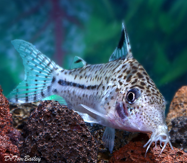 "Premium Spotback Corydoras Catfish, 1.5"" to 2"" long"