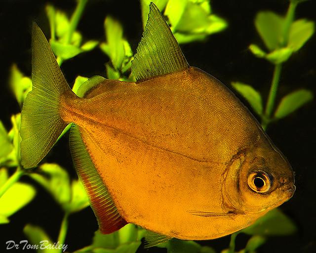 "Premium Silver Dollar Fish, 1.5"" to 2.5"" long"