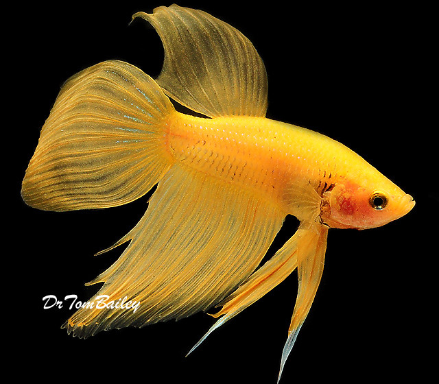 "Premium Male Yellow Betta Fish, 2"" to 2.5"" long"