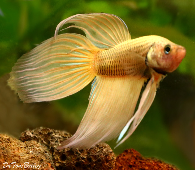Premium Male Mustard Betta Fish, 2