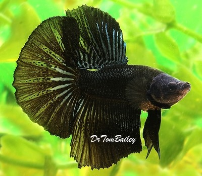 Premium MALE Black Halfmoon Betta Fish, Size: 2