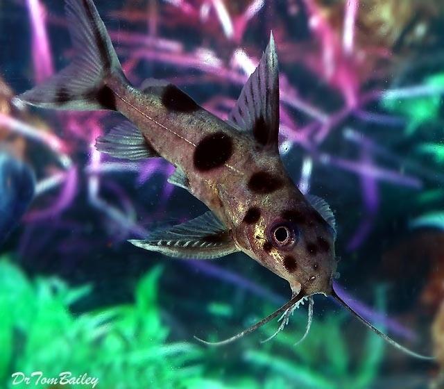 """Premium, Rare, Synodontis Decorus Hybrid Catfish, 2.5"""" to 3"""" long"""