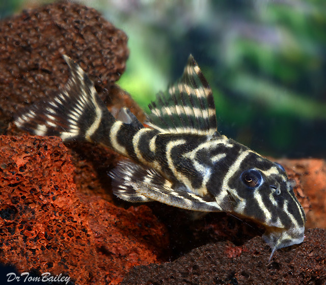 "Premium, Wild, New, and Rare Orinoco Zebra Pleco, 1.5"" to 2"" long"