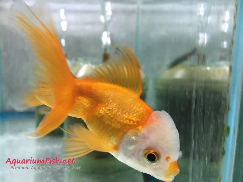 Premium White Cap Oranda Goldfish, WYSIWYG 2.5