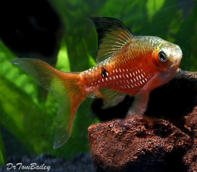 """Premium Male Neon Hi Fin Rosy Barb, 2"""" to 2.5"""" long"""