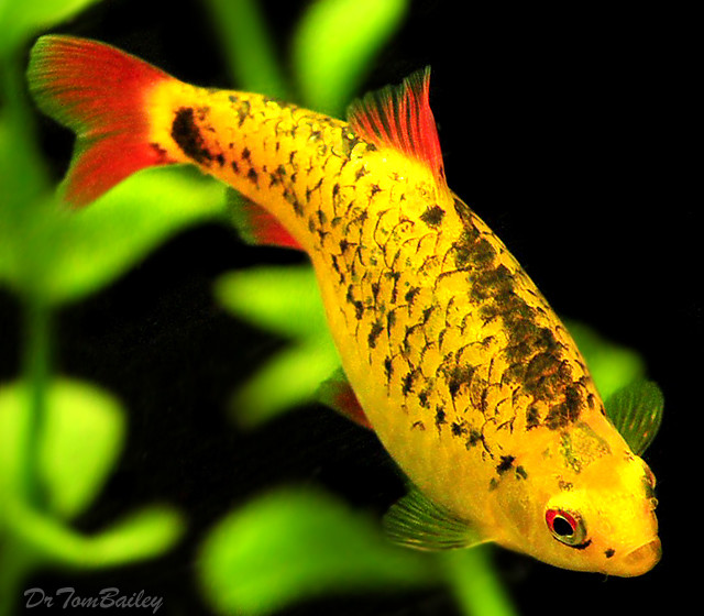 "Premium Neon Gold Barb, 0.75"" to 1"" long"