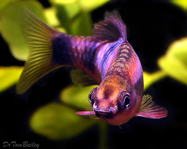 "Premium Clown Barb, 1.5"" to 2"" long"