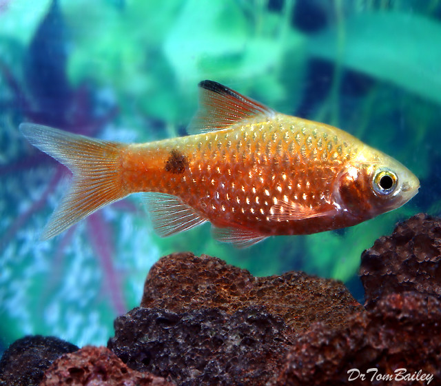 "Premium Orange Rosy Barb, 1.5"" to 2"" long"