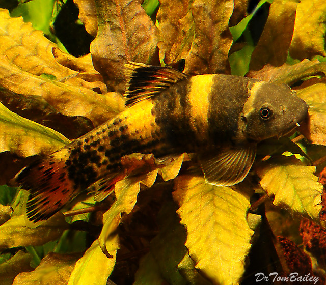 "Premium Rare Panda Garra Algae Eating Catfish, 1.5 to 2"" long"