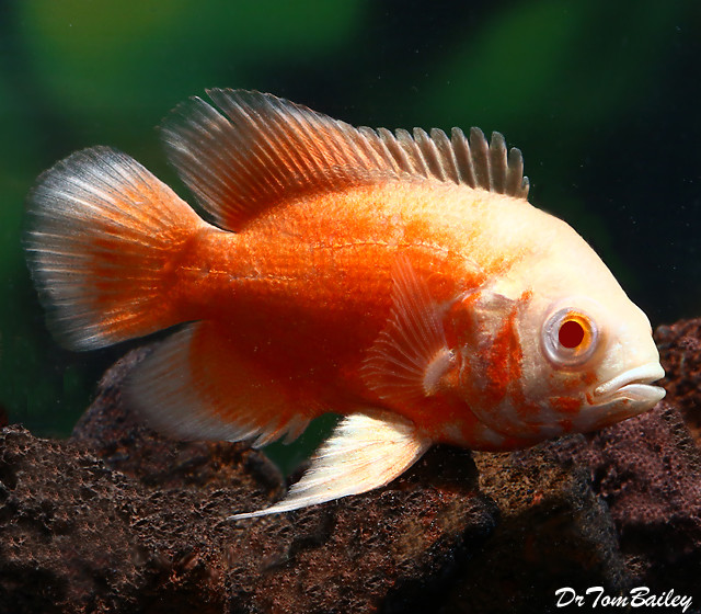 "Premium Albino Red Oscar Cichlid, 2.5"" to 3"" long"