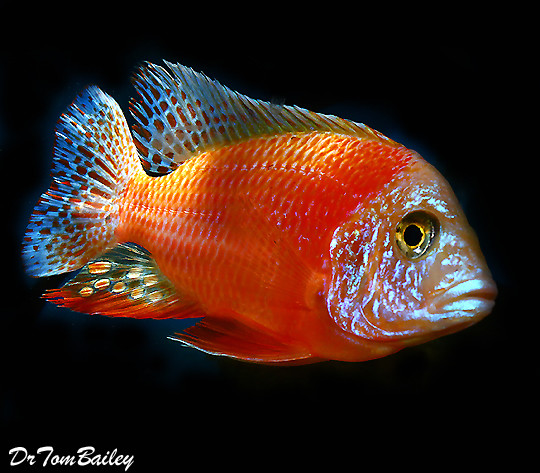 "BABY Lake Malawi Ruby Red Peacock Cichlid, 0.5"" to 0.75"" long, in our Tank C-66."