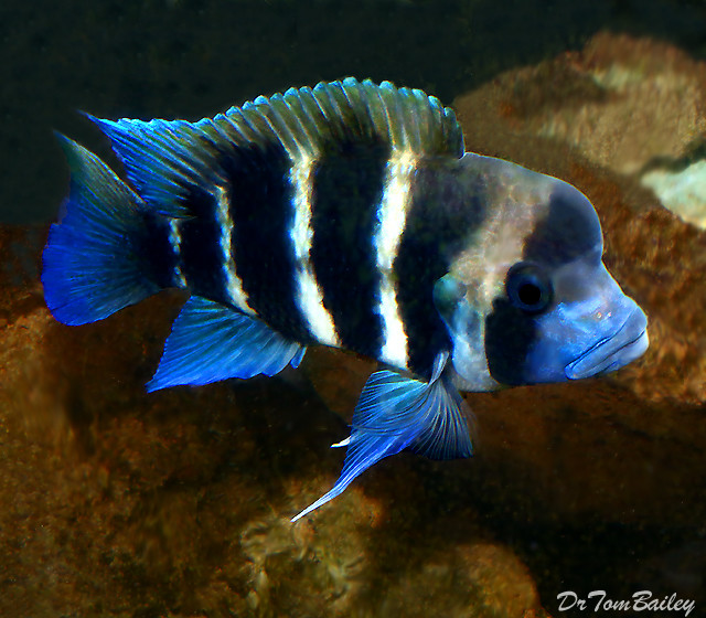 "Premium Lake Tanganyika 6-Stripe Frontosa Cichlid, 2.5"" to 3"" long"