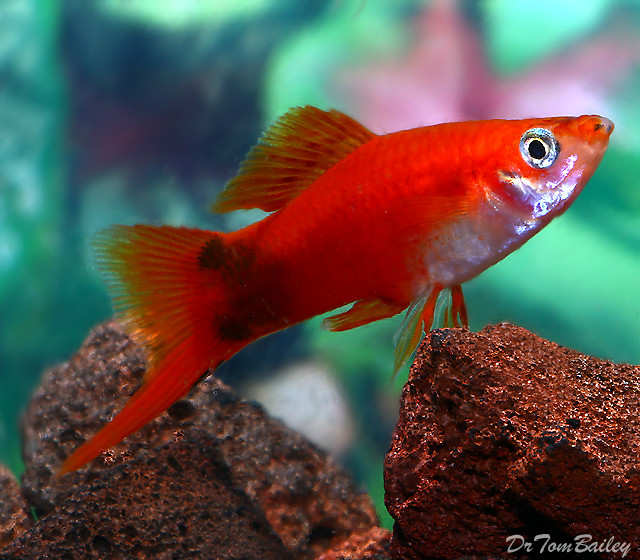 "Premium MALE Red Mickey Mouse Swordtail, 1.5"" to 2"" long"