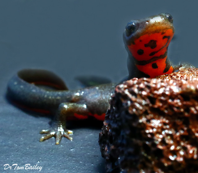 """Premium Fire Belly Newt, 2.5"""" to 3"""" long"""