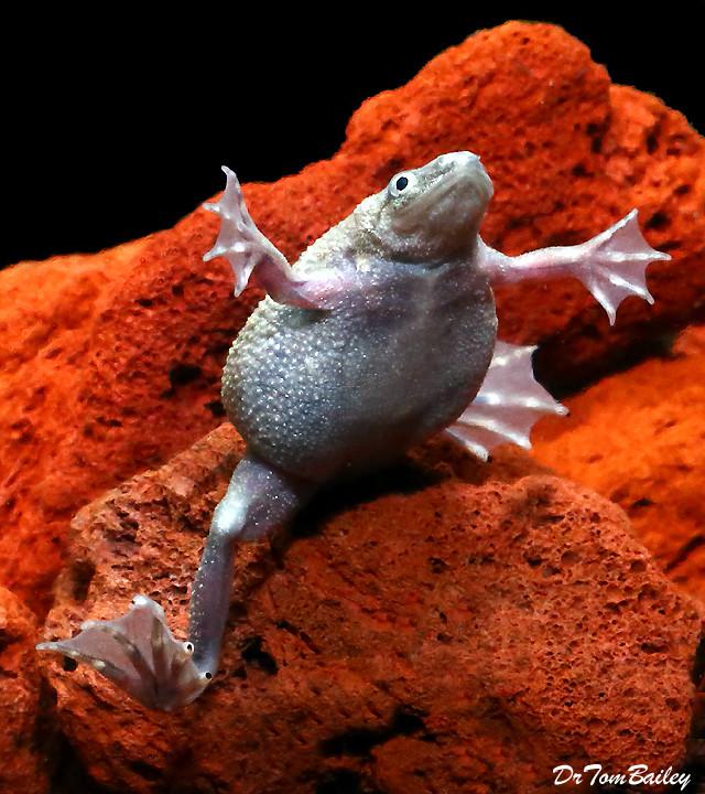 "Premium Female Breeder Frog, 1.5"" to 2"" long"