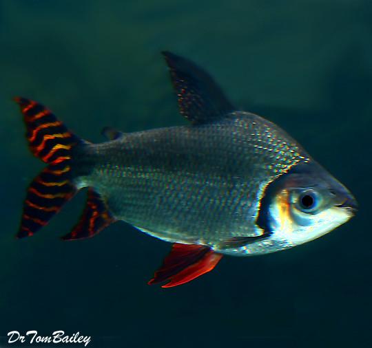 Premium Redfin Prochilodus, 5