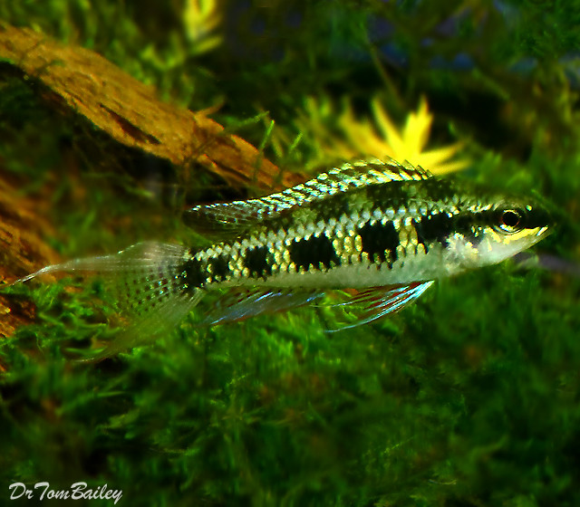 "Premium Lyretail Checkerboard Cichlid, 1"" to 1.5"" long"