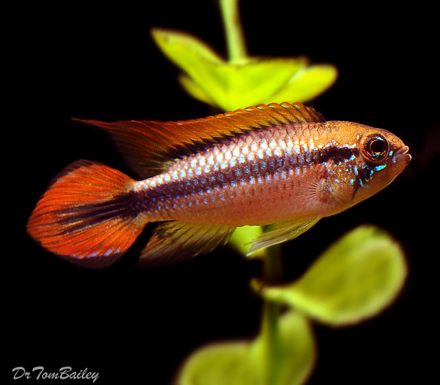 "Premium  New,  Double Red Agassizii Dwarf Cichlid, 1.5"" to 2"" long"