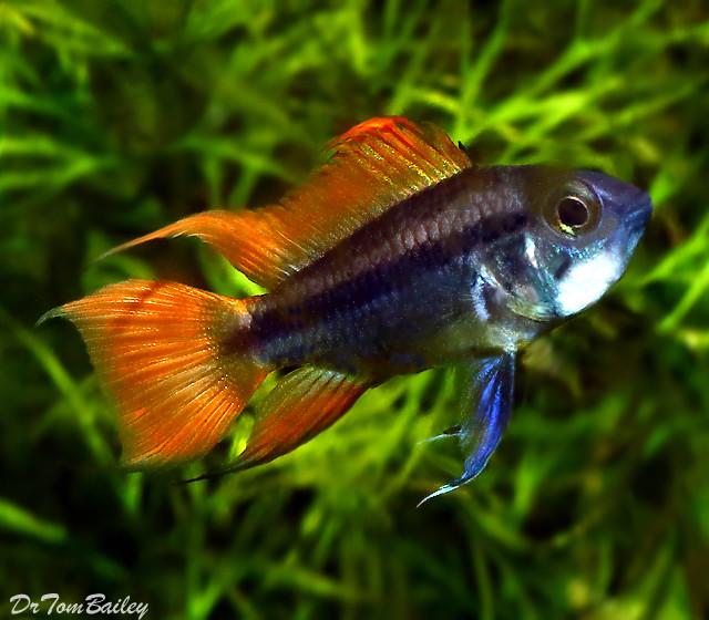 "Premium New Apistogramma Cacatuoides Cichlid ""Orange Flash"", 1"" to 1.2"""