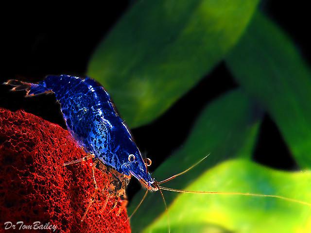 Premium Blueberry Shrimp, 0.75