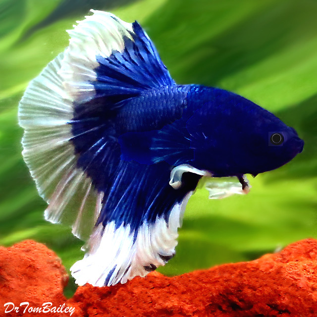 "Premium Show Butterfly Halfmoon Male Betta Fish, 1.5"" to 2"" long"