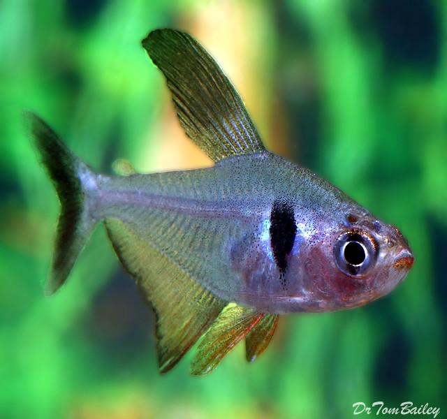 Premium Black Phantom Tetra, 1