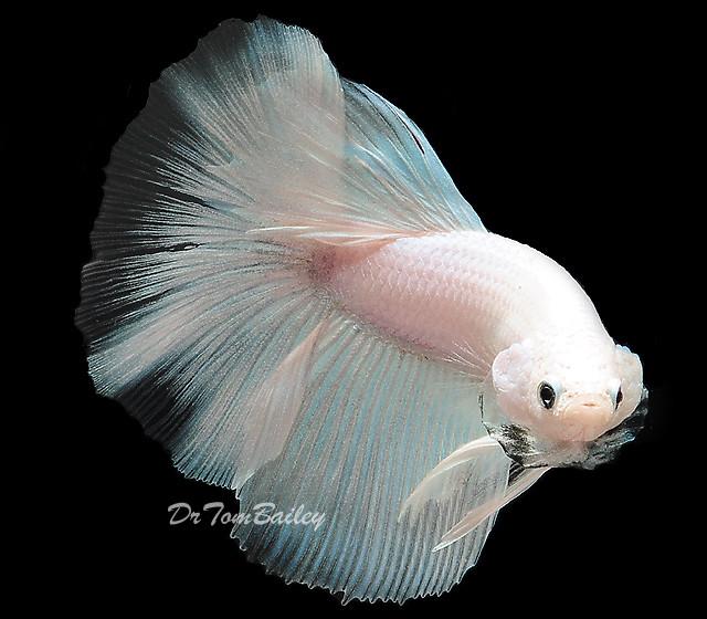 Premium, New and Exciting, White Halfmoon Male Betta Fish, 1.5