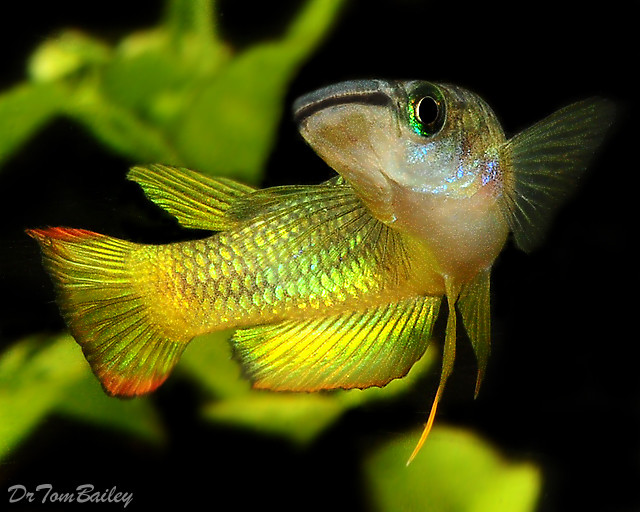 Premium Golden Wonder Killifish, 1