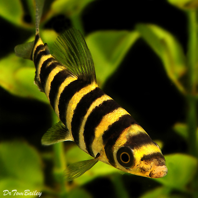 "Premium Leporinus Fasciatus, 5"" to 7"" long."