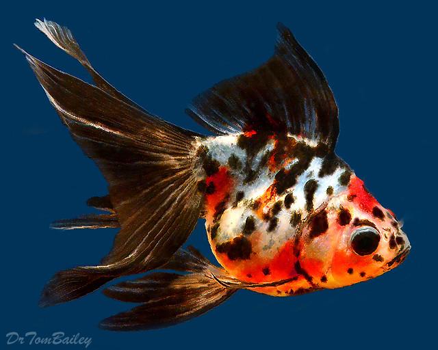 Premium Calico Ryukin Goldfish, 4