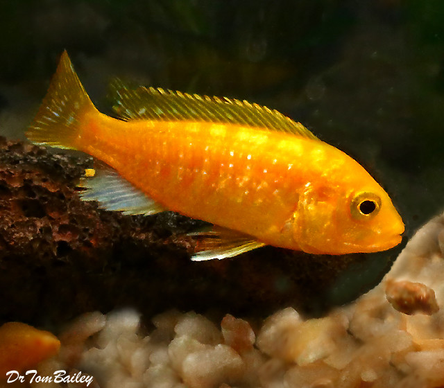 "Premium Electric Yellow Cichlid, 2"" to 2.5"" long"
