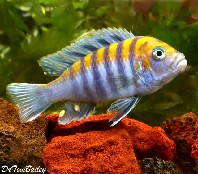 "Premium Clown Afra Cobue Mbuna Cichlid, 3"" to 3.5"" long"