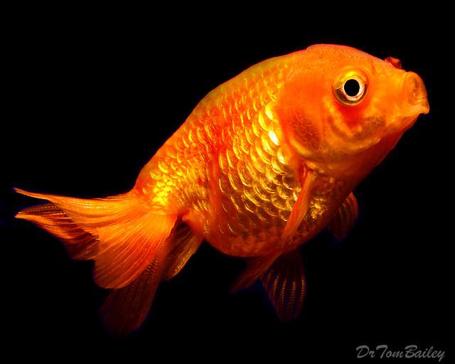 Premium Red Lionhead Goldfish, 2