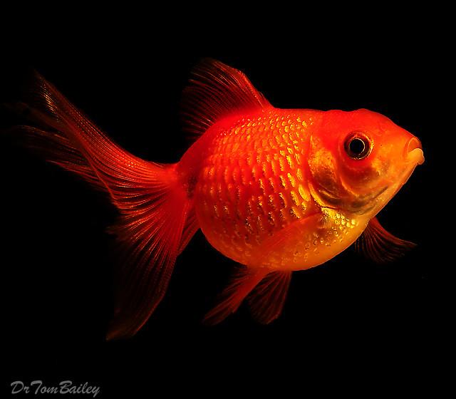 Premium Pearscale Goldfish, 1