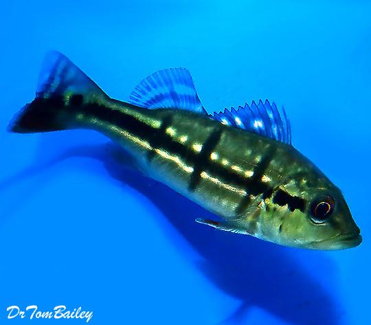 Premium Temensis Peacock Bass Cichlid, 2