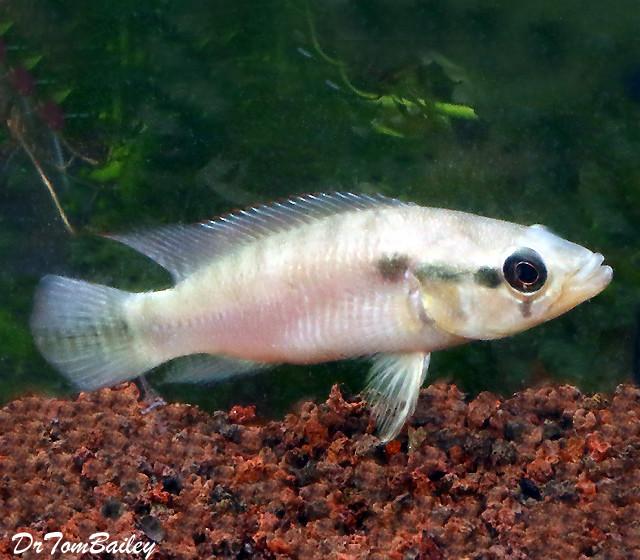 Premium Rare Wild Pike Cichlid, 3.5