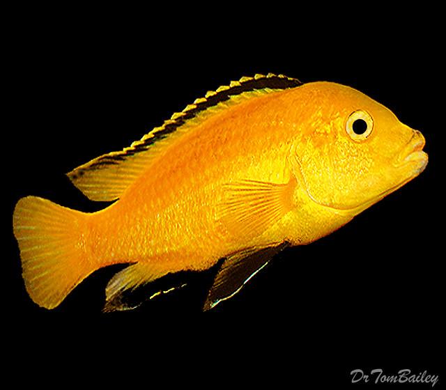 "Premium Lake Malawi Electric Yellow, African Cichlid, 1.5"" to 2"" long"